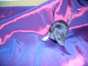 17 day rat kitten